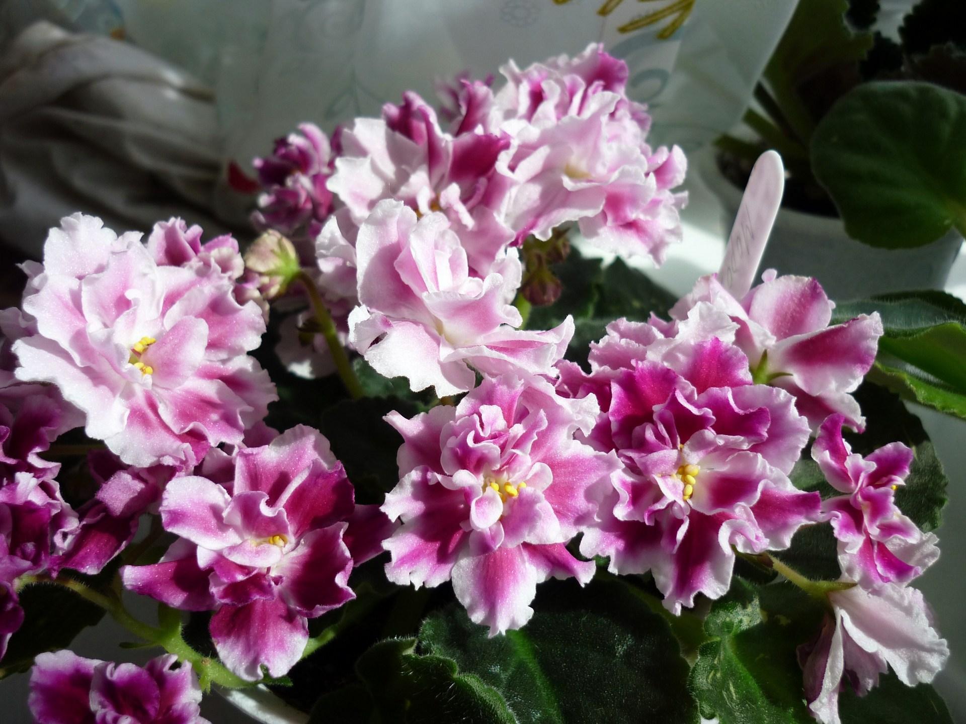 Фиалка розовая акварель фото 3: www.dreampics.ru/picture.php?id=5491