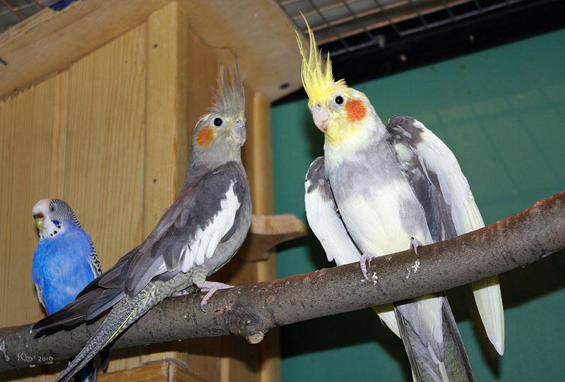 Смотреть попугаев корелла