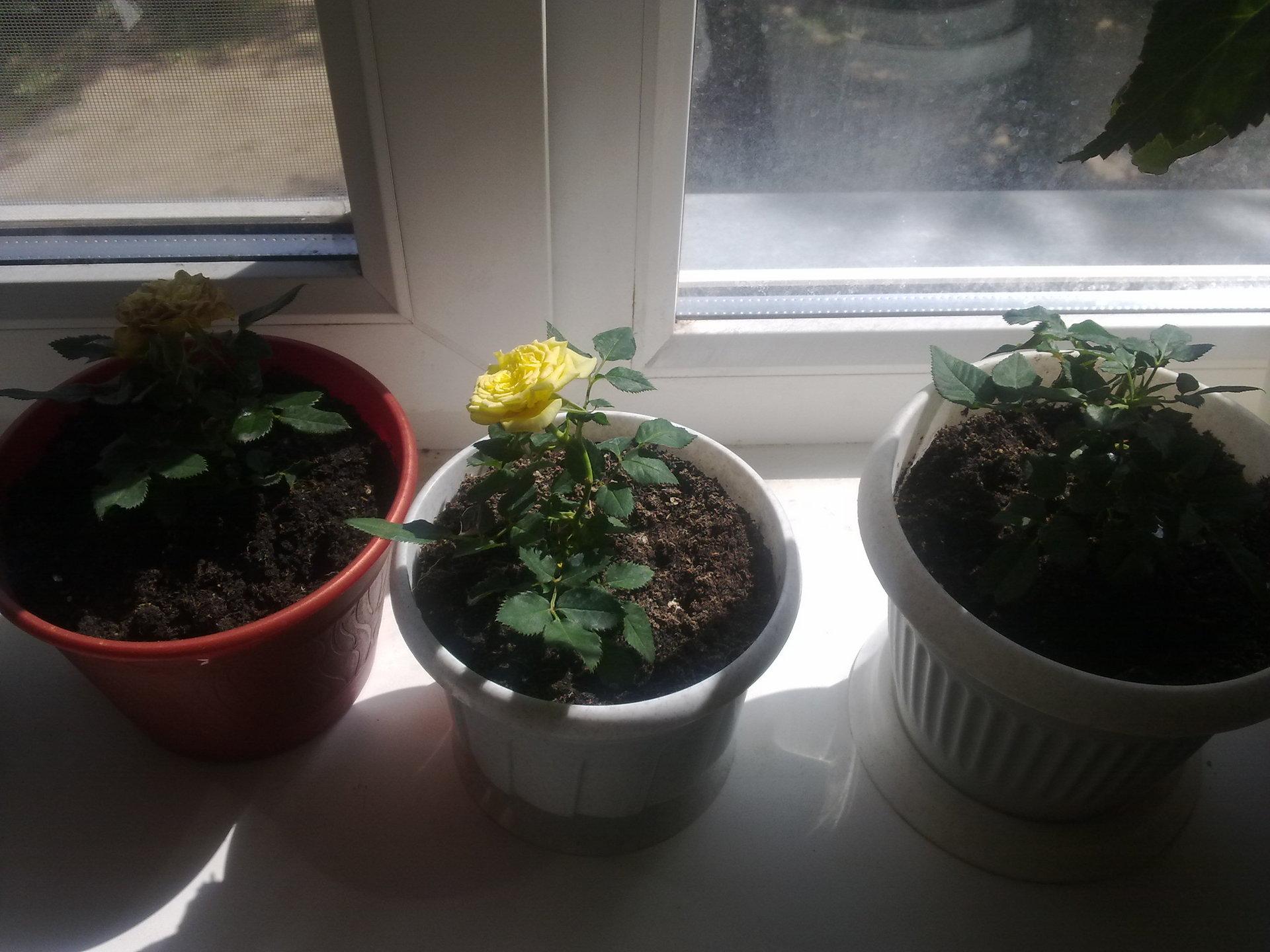Розы как выращивать в домашних условиях из букета