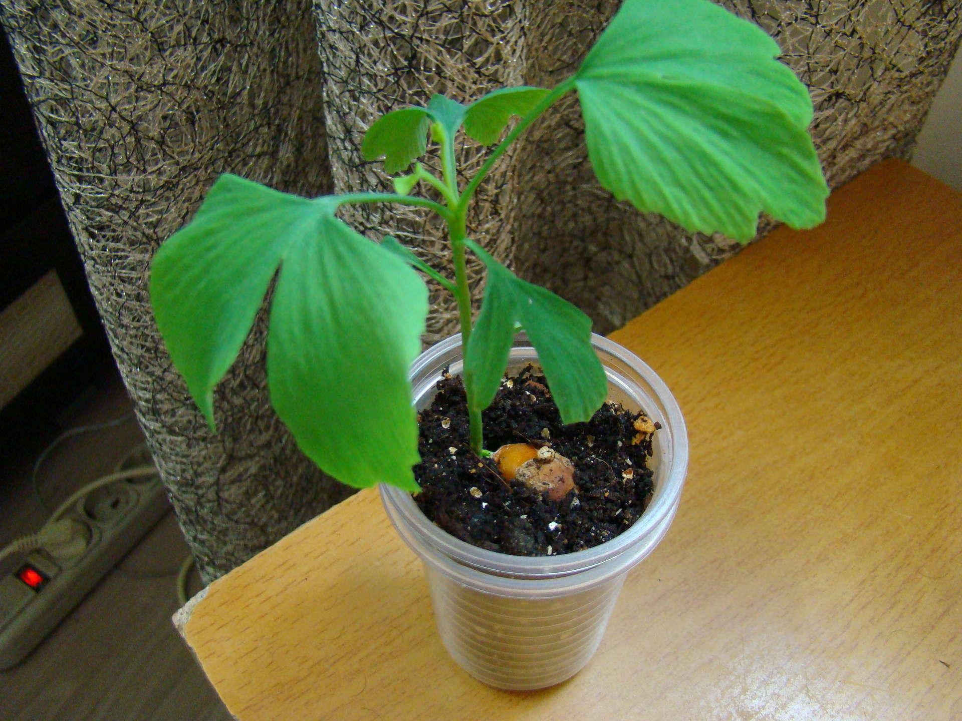 Выращивание гинкго билоба из семян 53