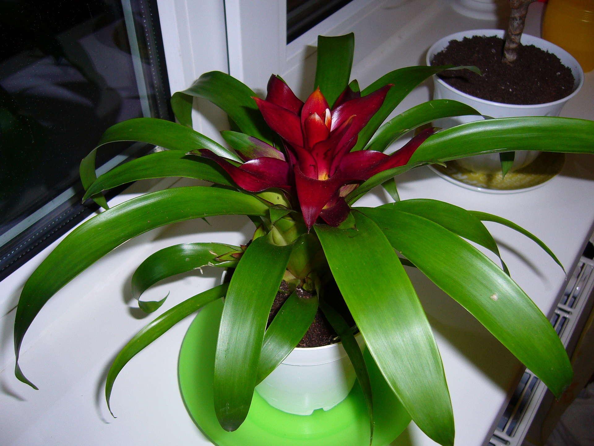 Комнатные цветы фото названия гузмания