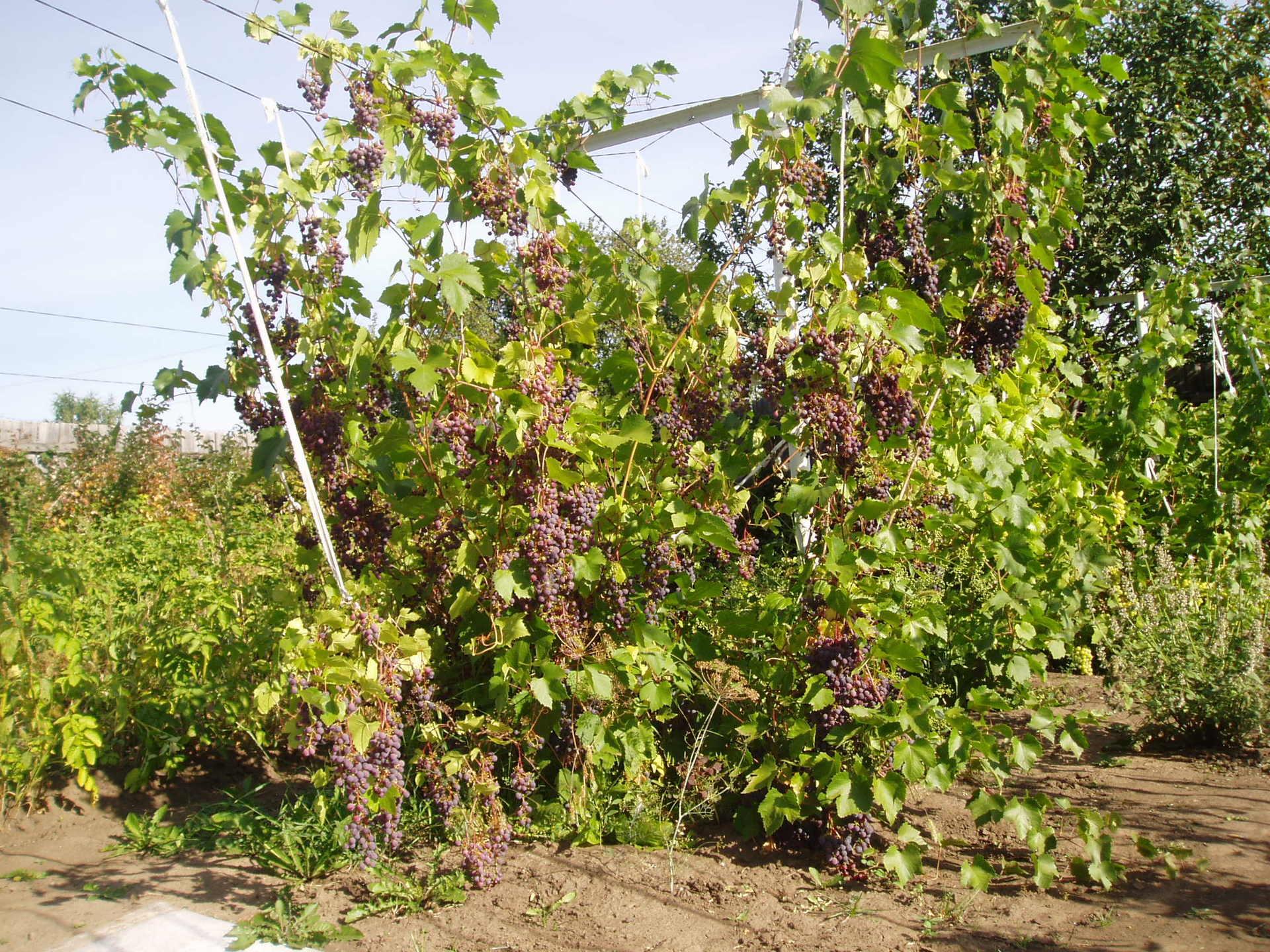 Домовёнок какой сорт винограда у вас