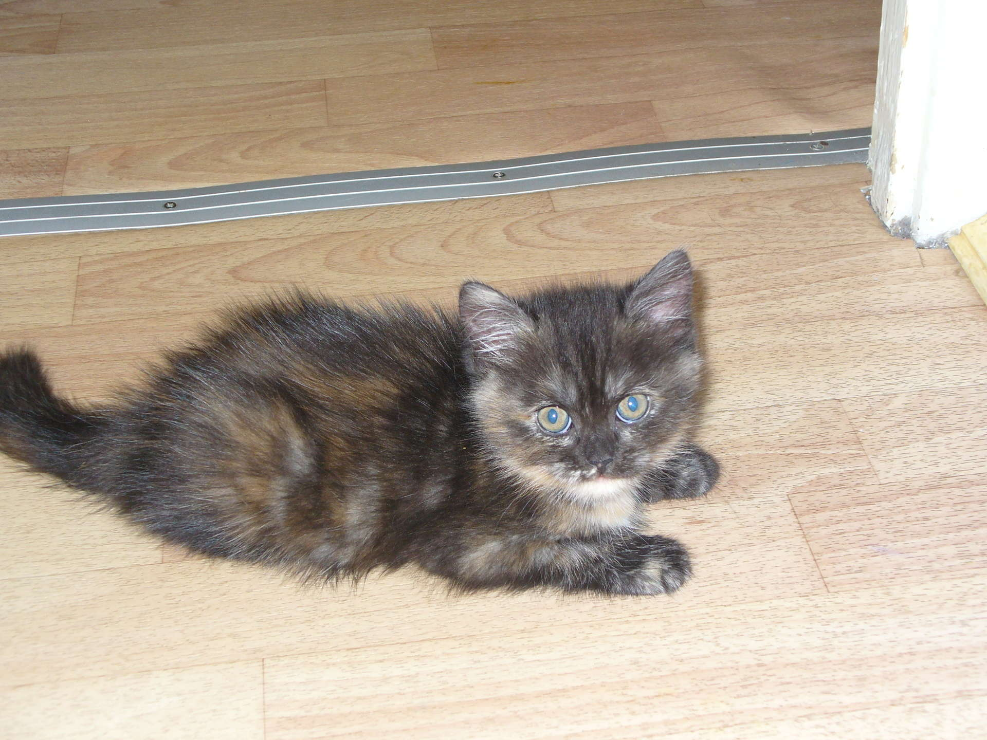 Трехцветные кошки - KoshkinMir