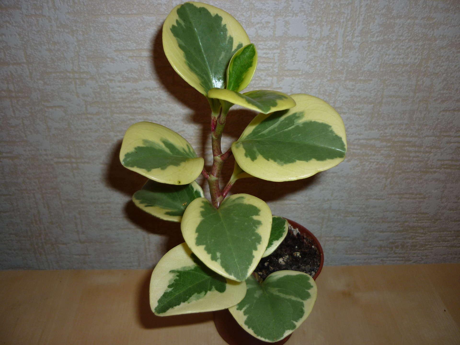 Фото комнатного цветка с продолговатыми листьями