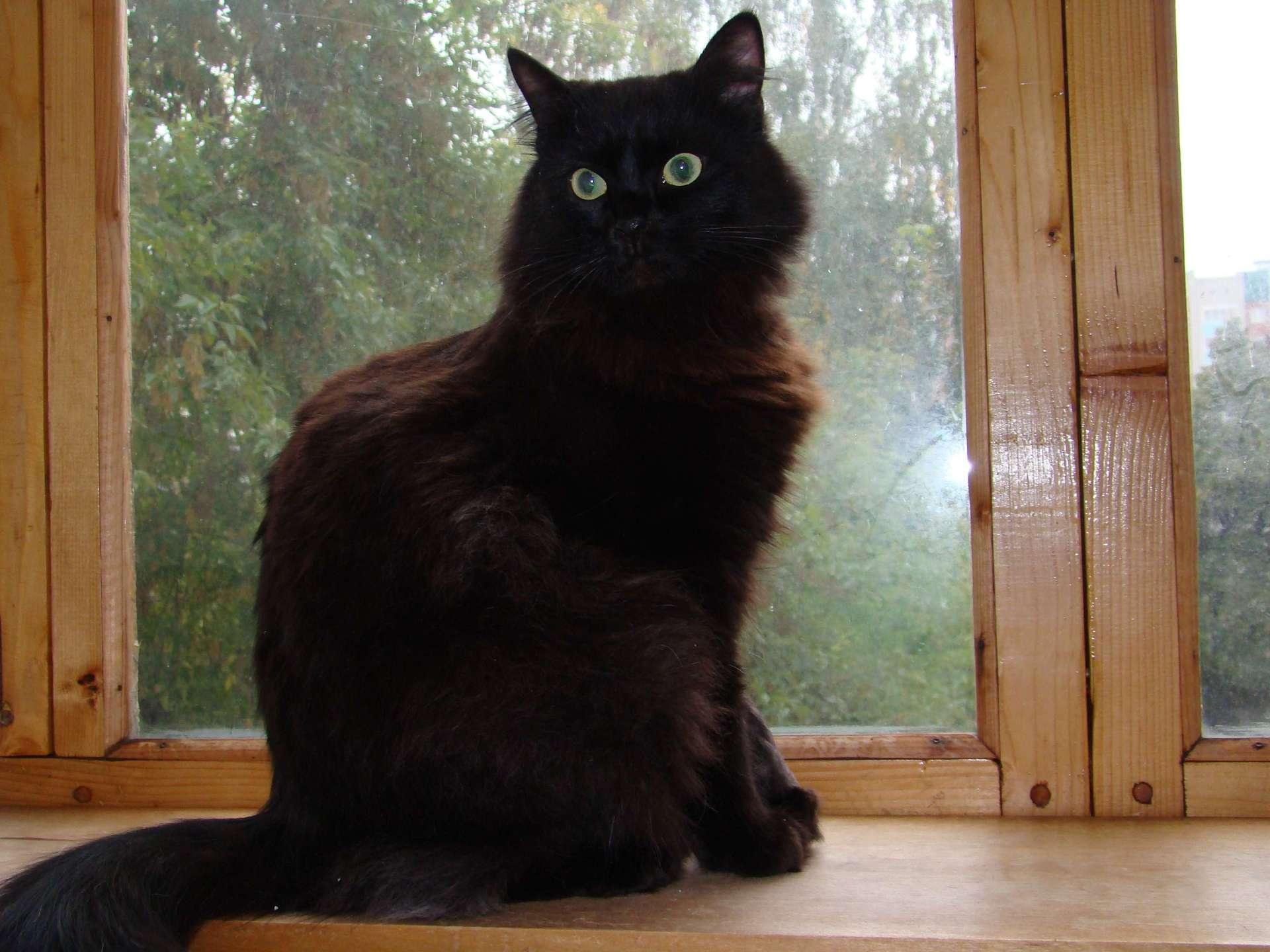 фото пушистый черный кот