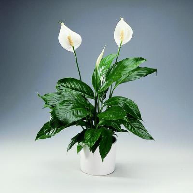 Комнатный цветок белый парус научное