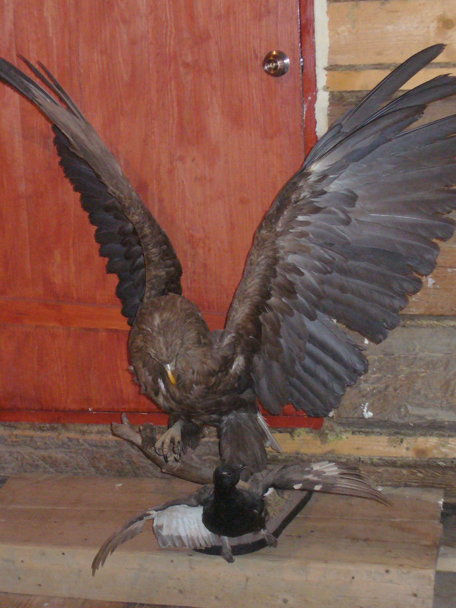 Как сделать чучело орла