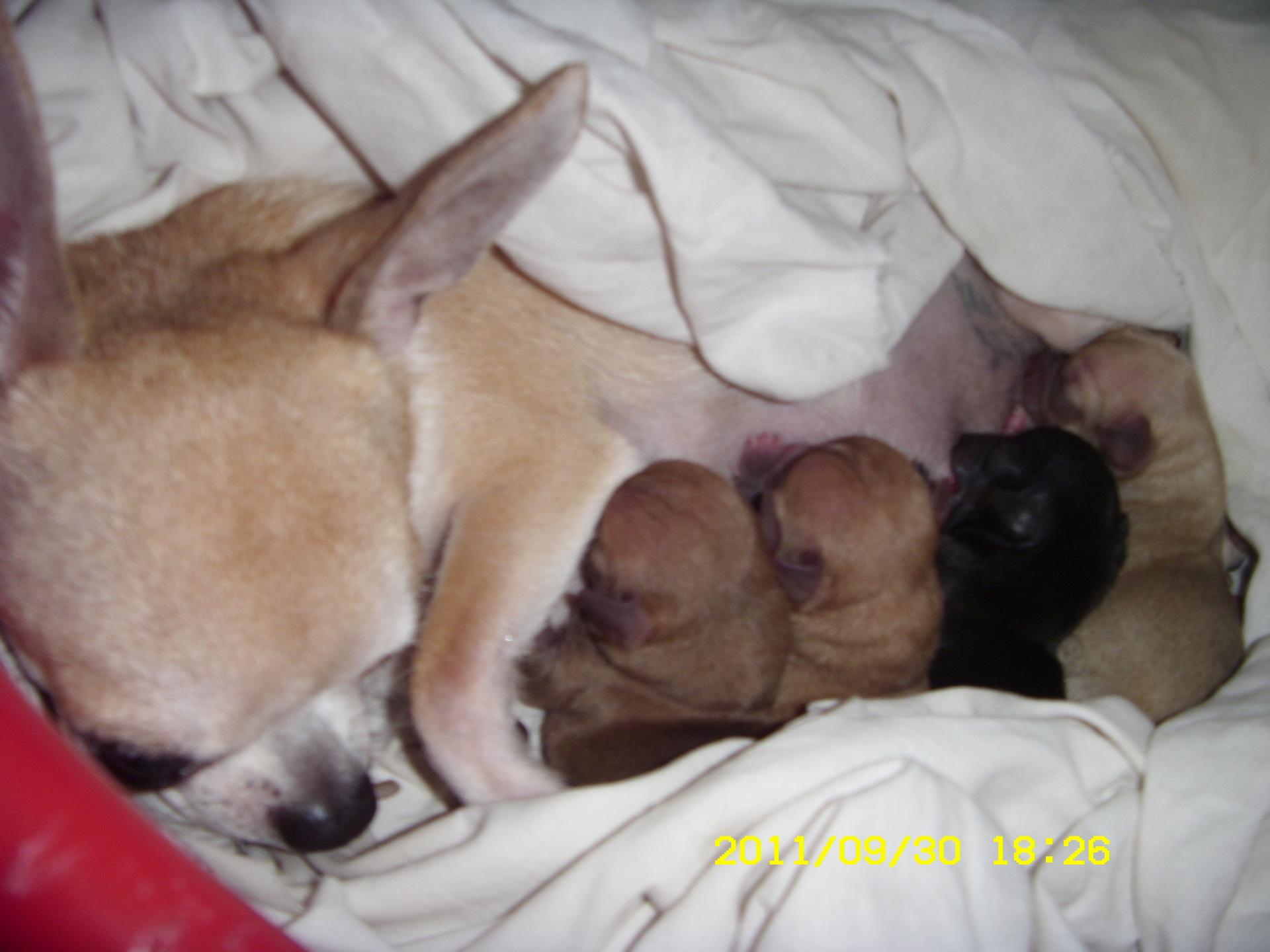 Роды у чихуахуа в домашних условиях 854