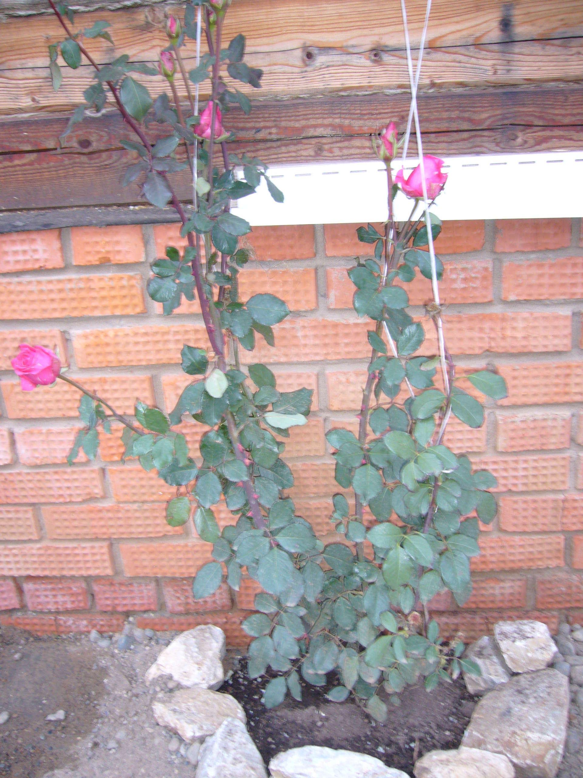 Плетистая роза зимовка 4