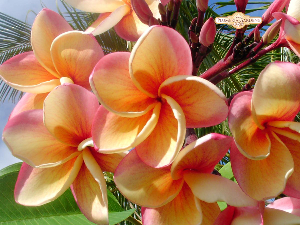 Индия цветы