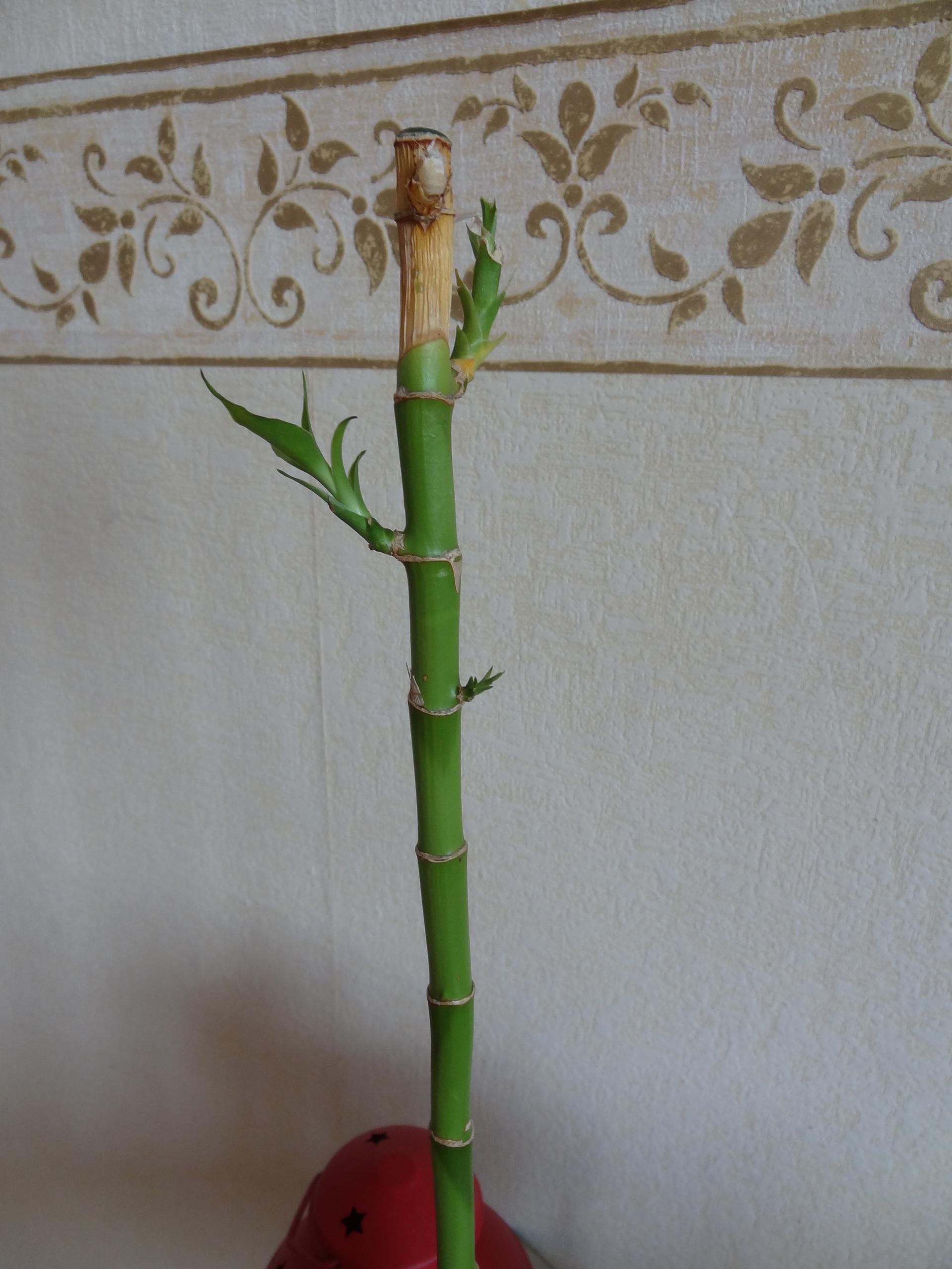 Почему желтеет бамбук в воде что делать