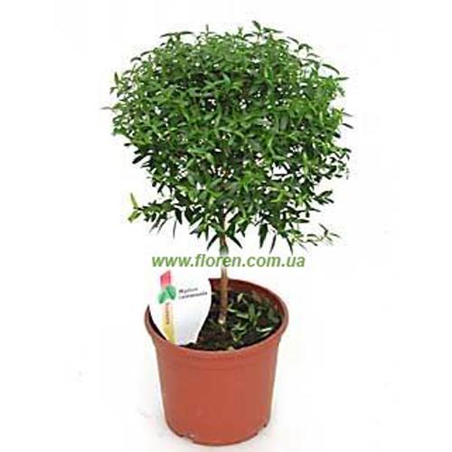 магазинов Калуги где в омске можно купить жасмин дерево охранная