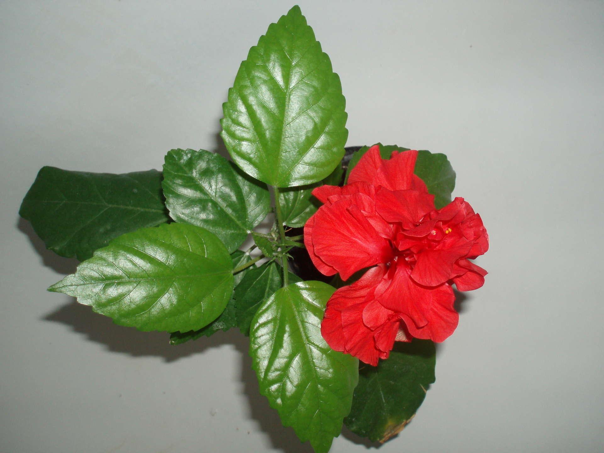 Цветок китайская роза фото и приметы