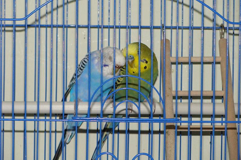 Можно ли сажать двух попугаев в одну клетку 81