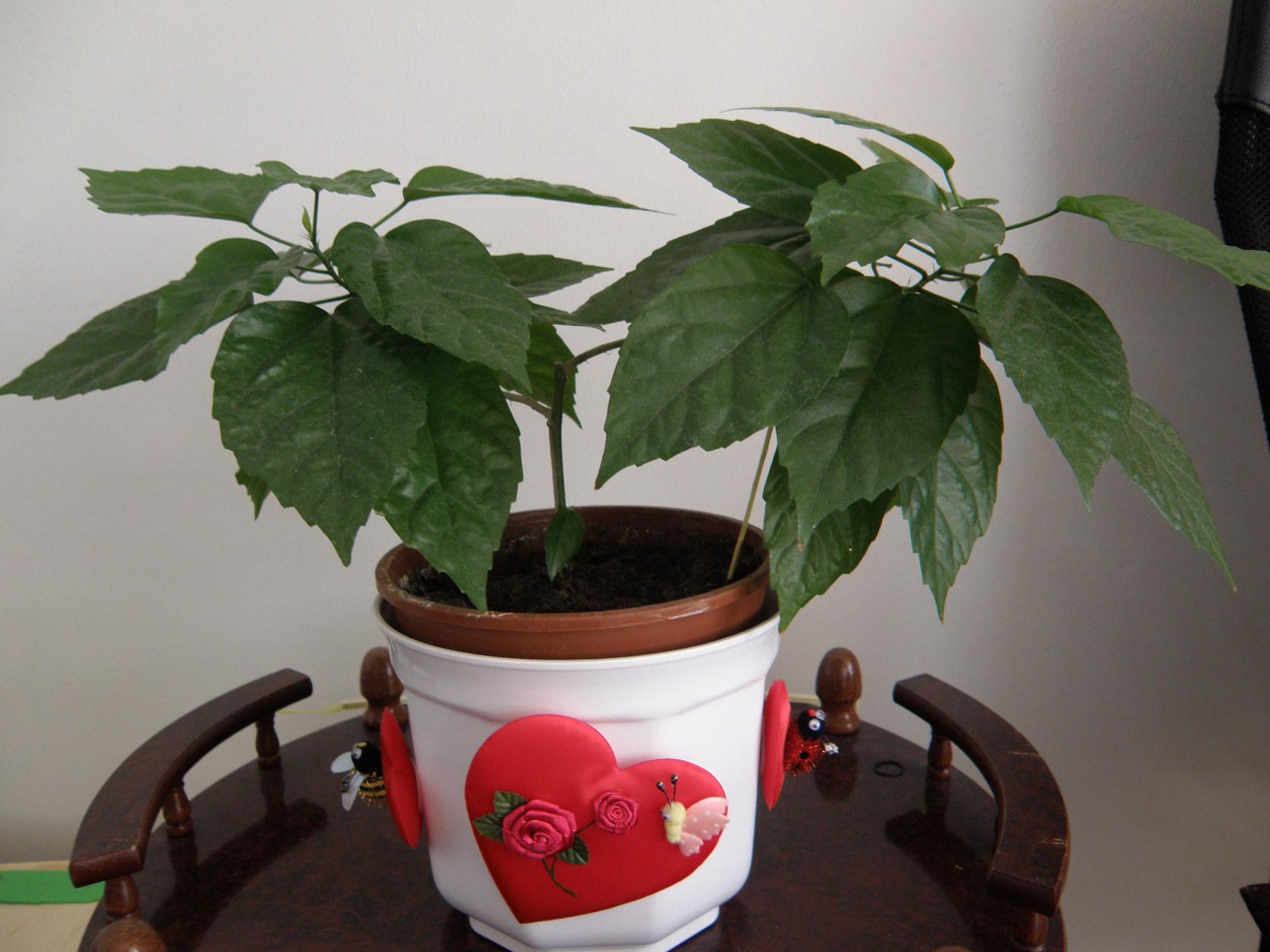 Выращивание китайской розы домашние 602