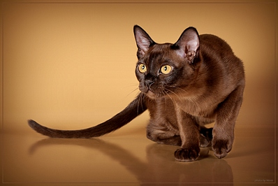 Европейская бурманская кошка фото