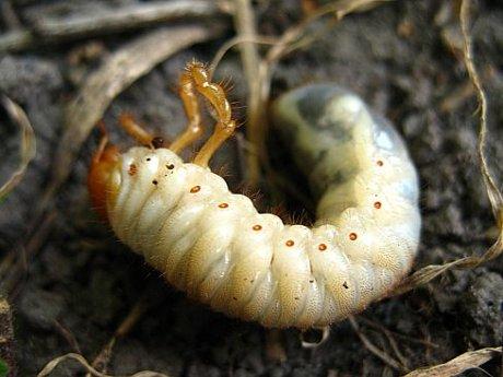 ест ли личинка майского жука