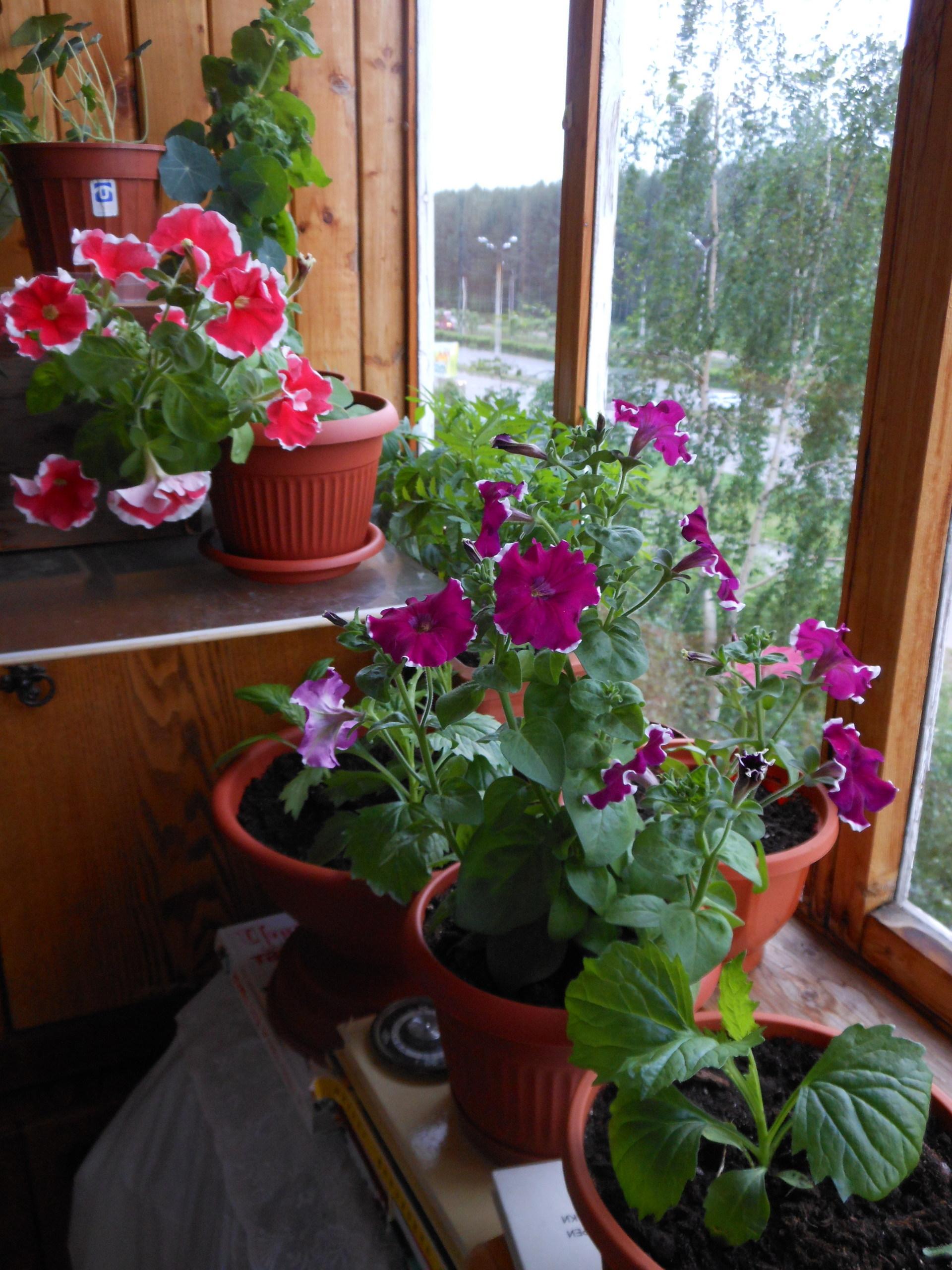 Пеларгония фото цветов на балконе