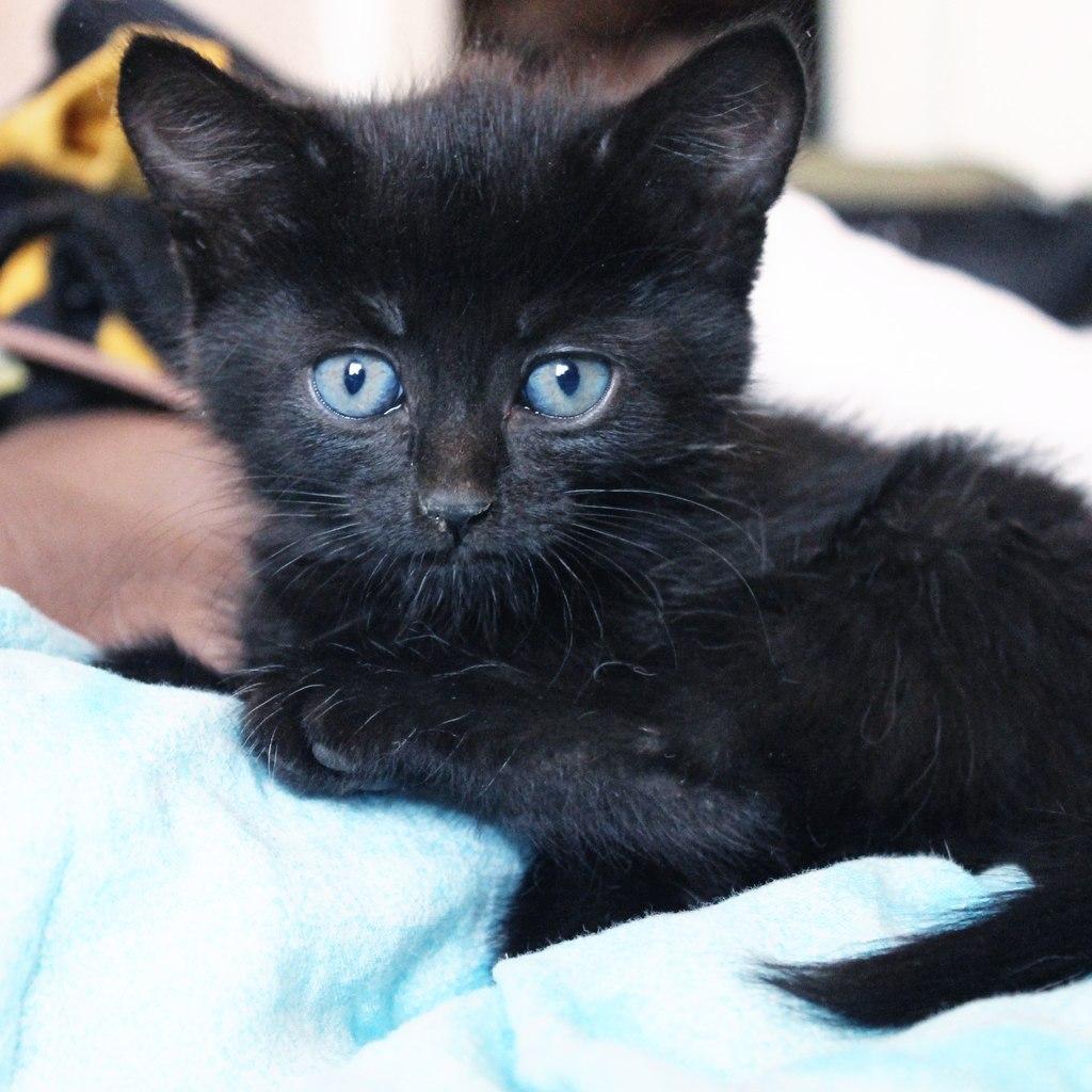 Фото чёрных котов с голубыми глазами