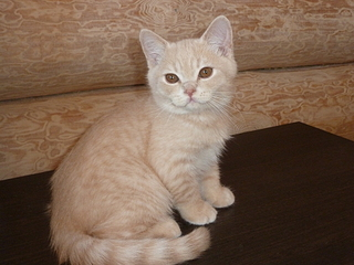 Продается британский котик кремовый.