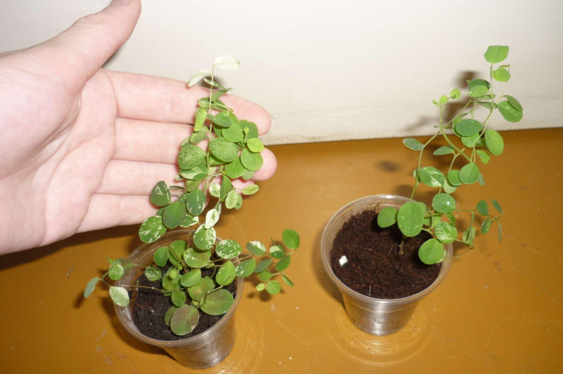 Бегония из семян в домашних условиях как самому вырастить 88