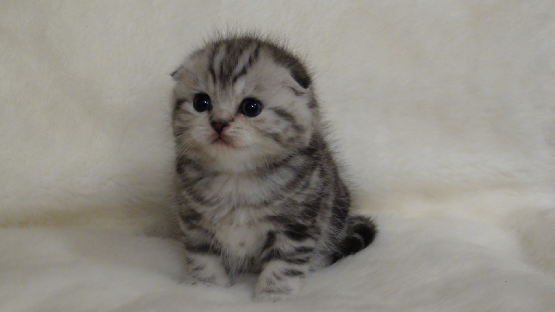 черный вислоухий шотландец котенок фото