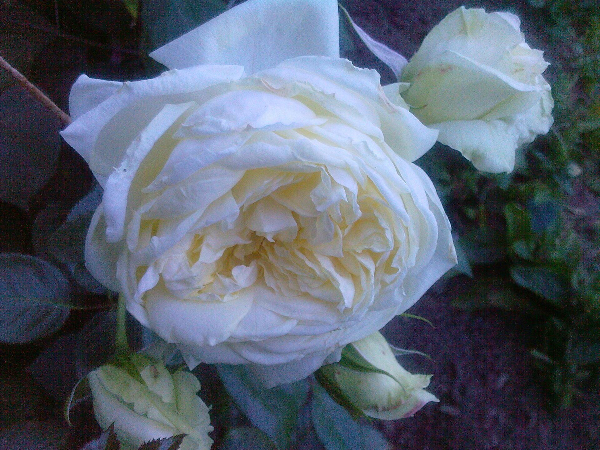 Когда зацветает плетистая роза 4