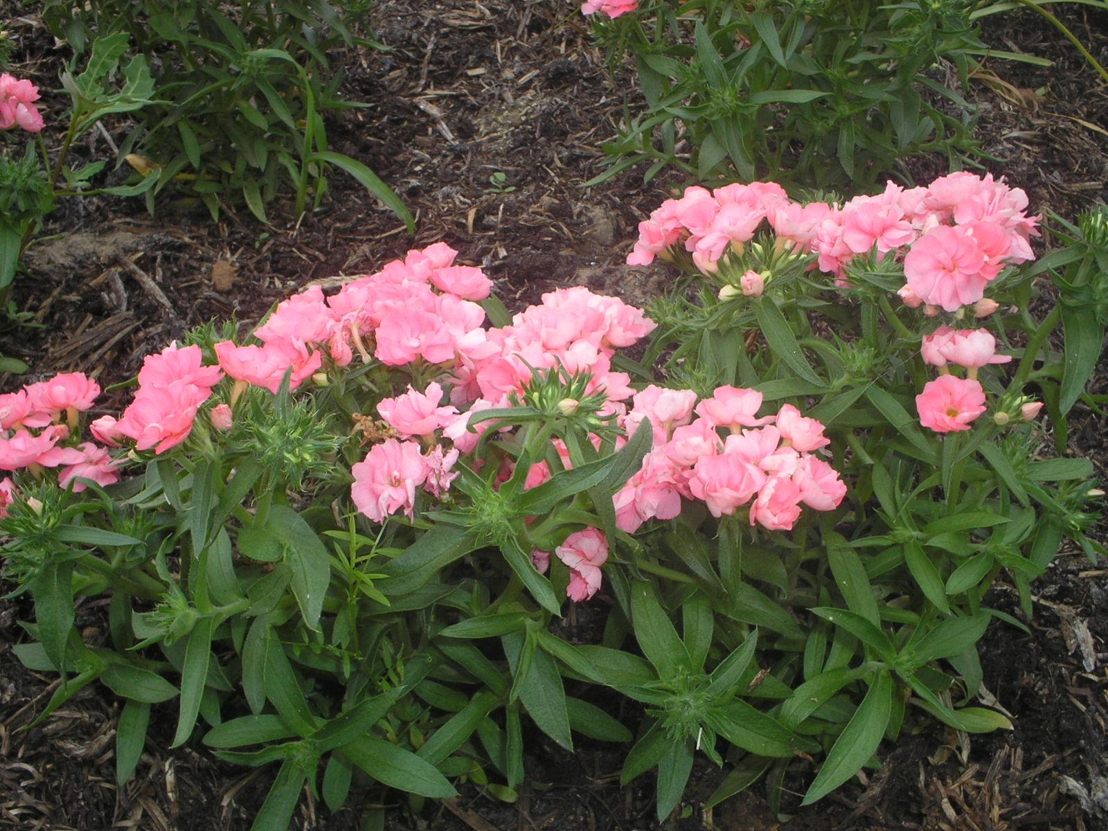Однолетние флоксы - личный опыт выращивания, красивая 47