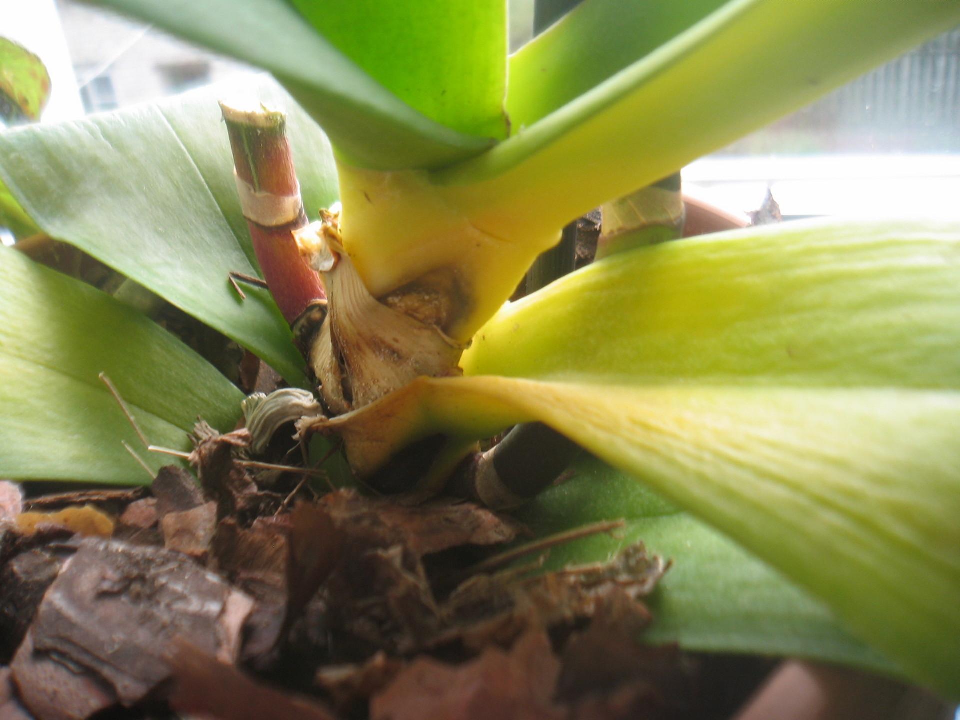 Почему нижние листья у орхидеи желтеют