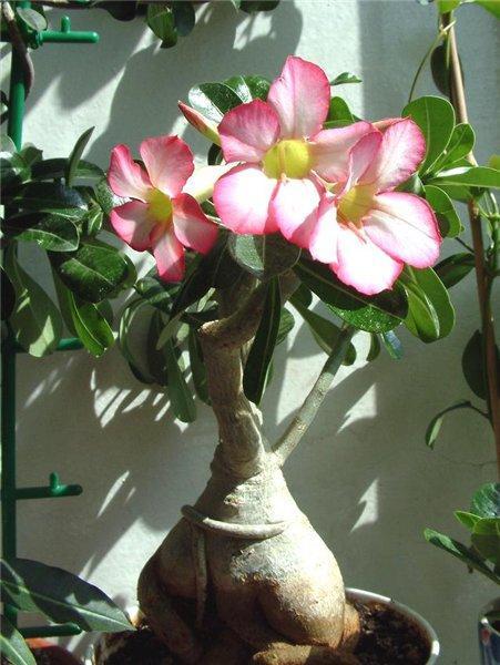 Комнатные цветы адениум фото