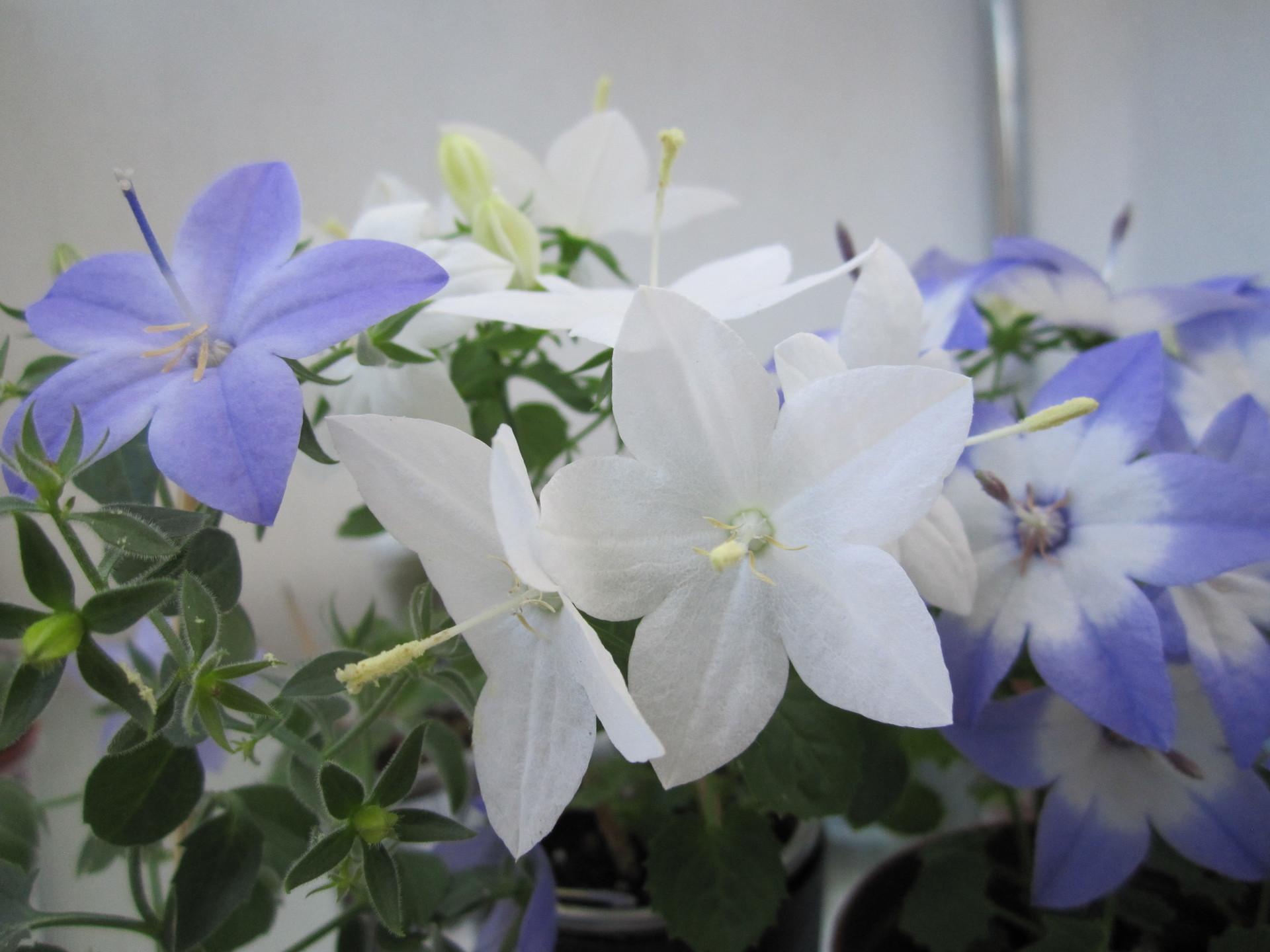 Фото комнатных цветов жених и невеста
