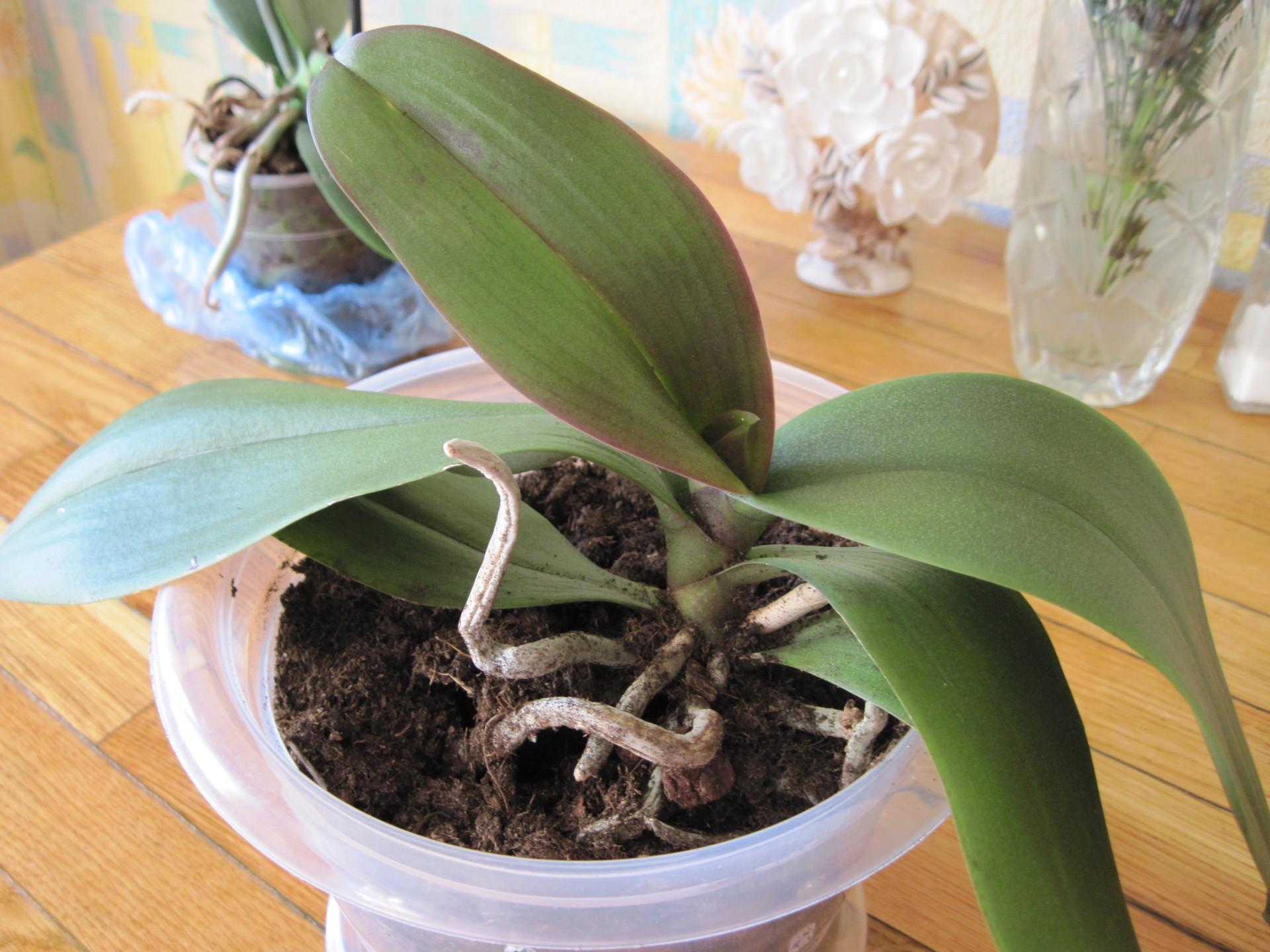 Фото орхидеи без цветка