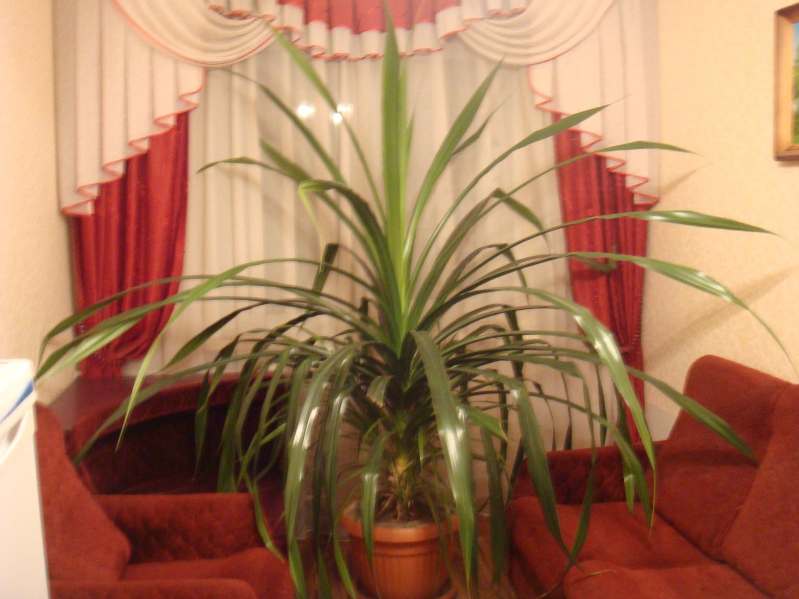 Фото комнатного цветка панданус