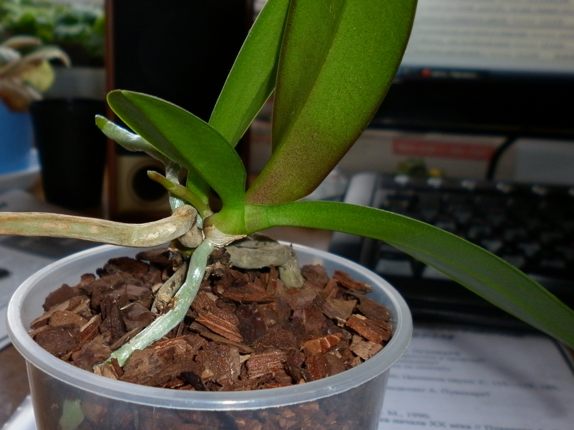 Что делать если нет цветоноса у орхидеи фото