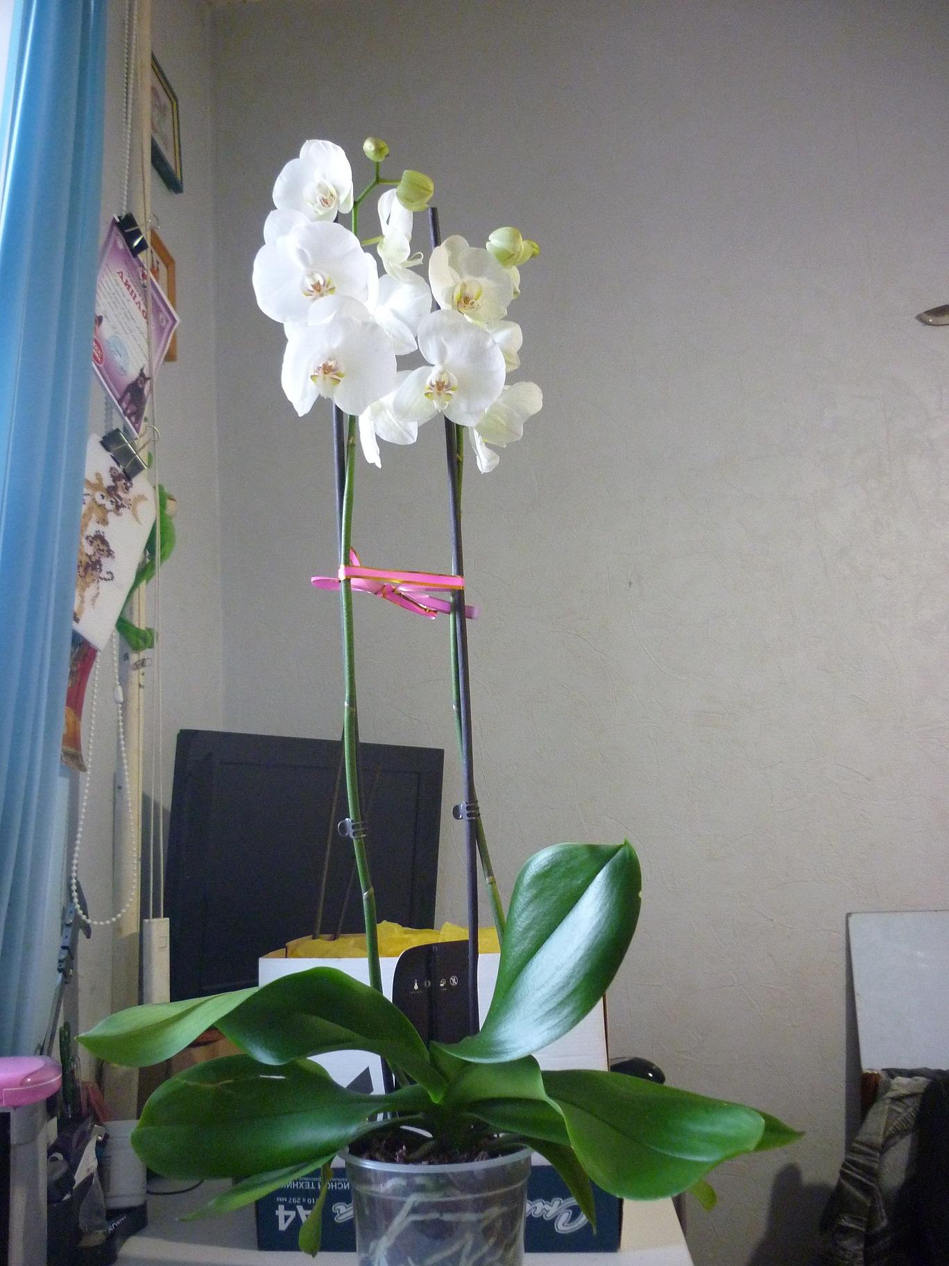 Орхидея цветок один цветонос