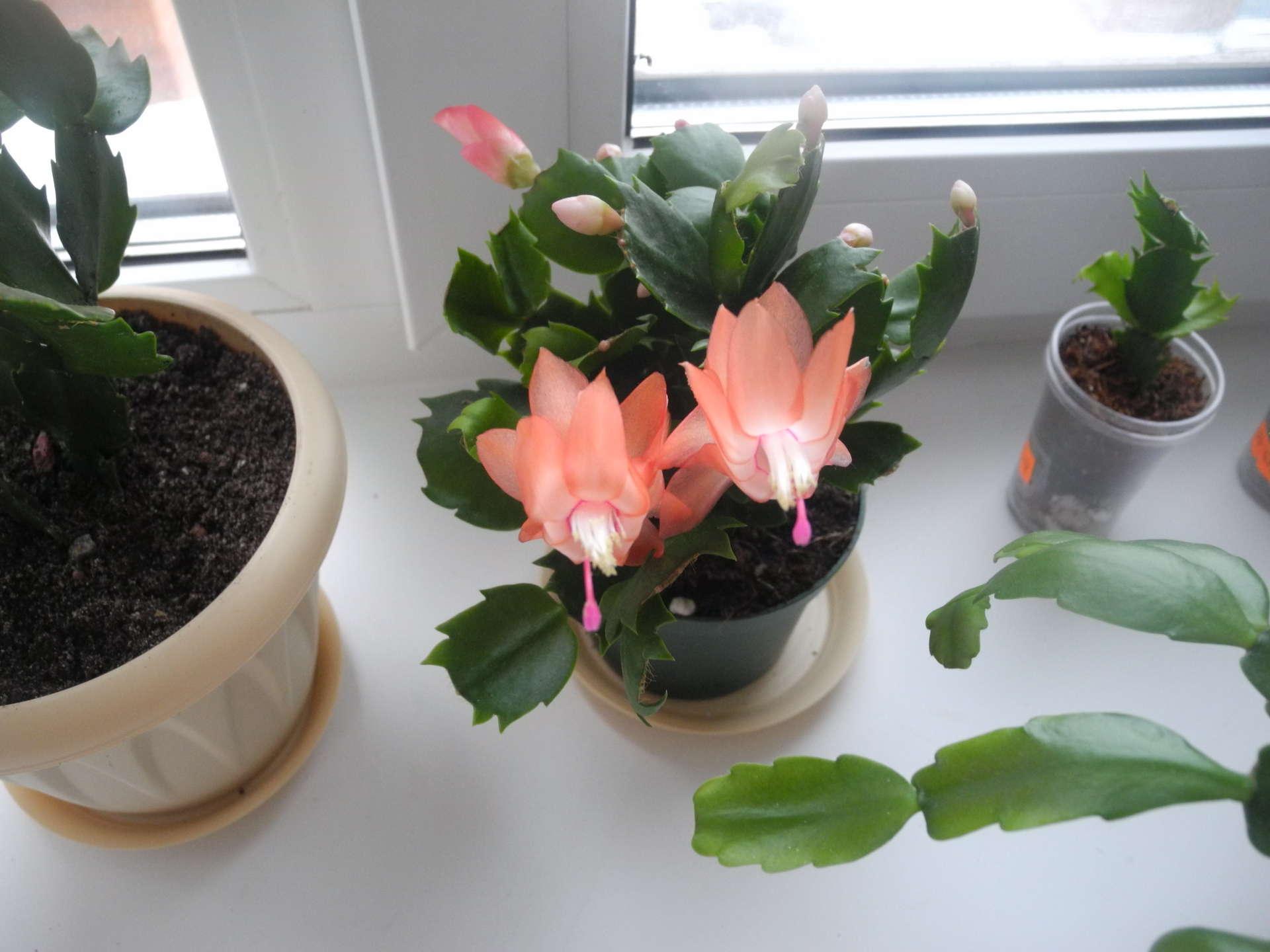 Размножение в домашних условиях цветка декабрист 150