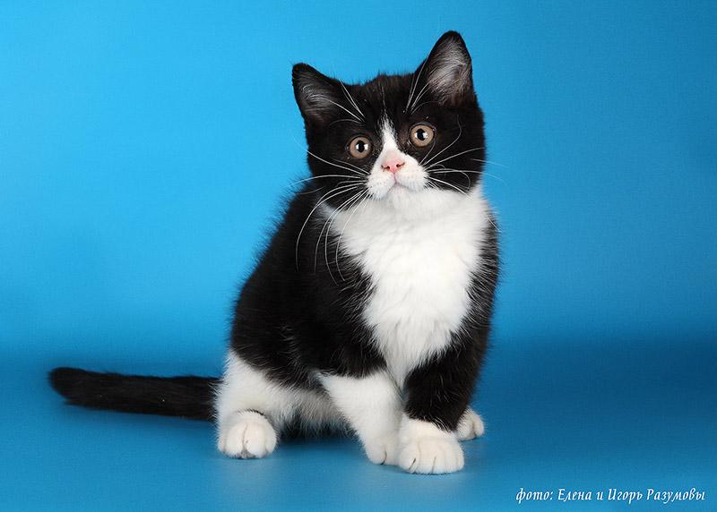 породы черно белых кошек с фотографиями и названиями
