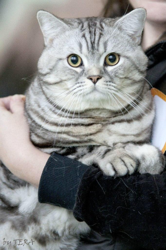 тольятти вязка кошки европейская адреса электронной