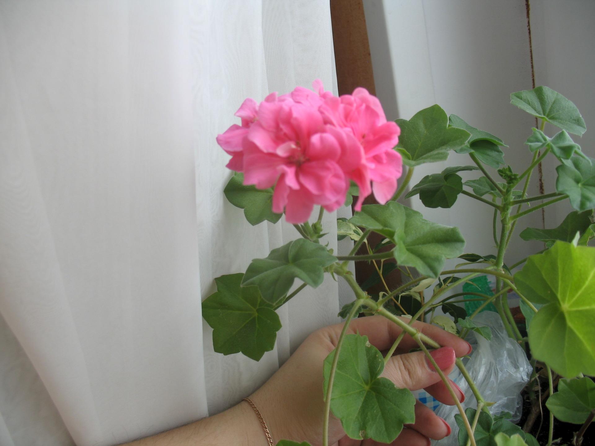 Герань - уход в домашних условиях для начинающих, чтобы растение цвело 78