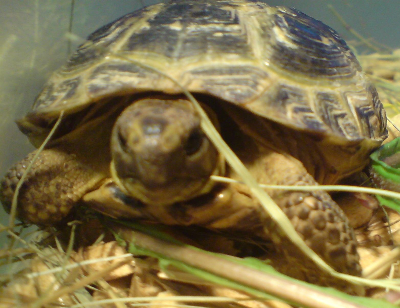 Красноухая черепаха 47
