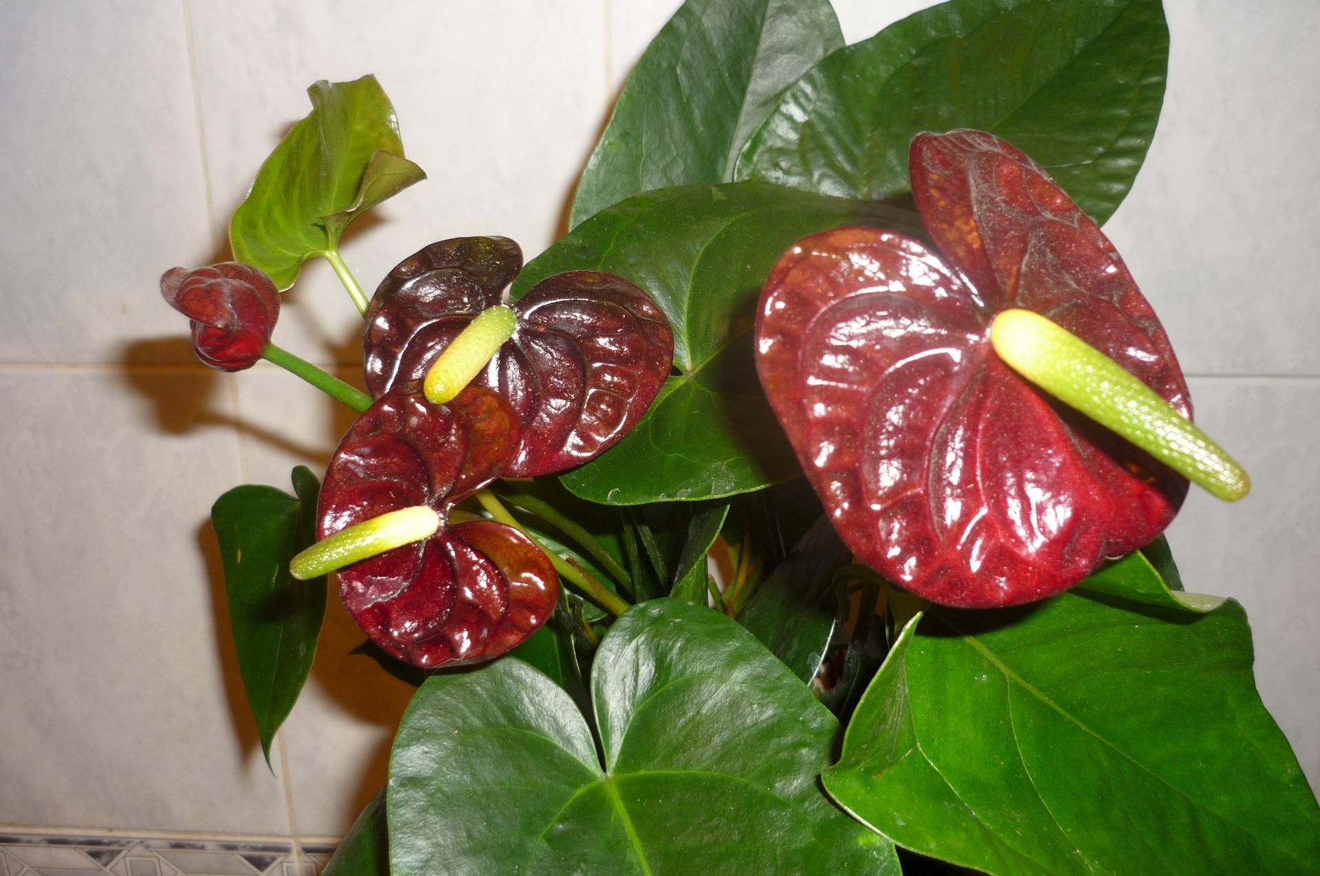 Комнатные цветы фото пеперомия 6