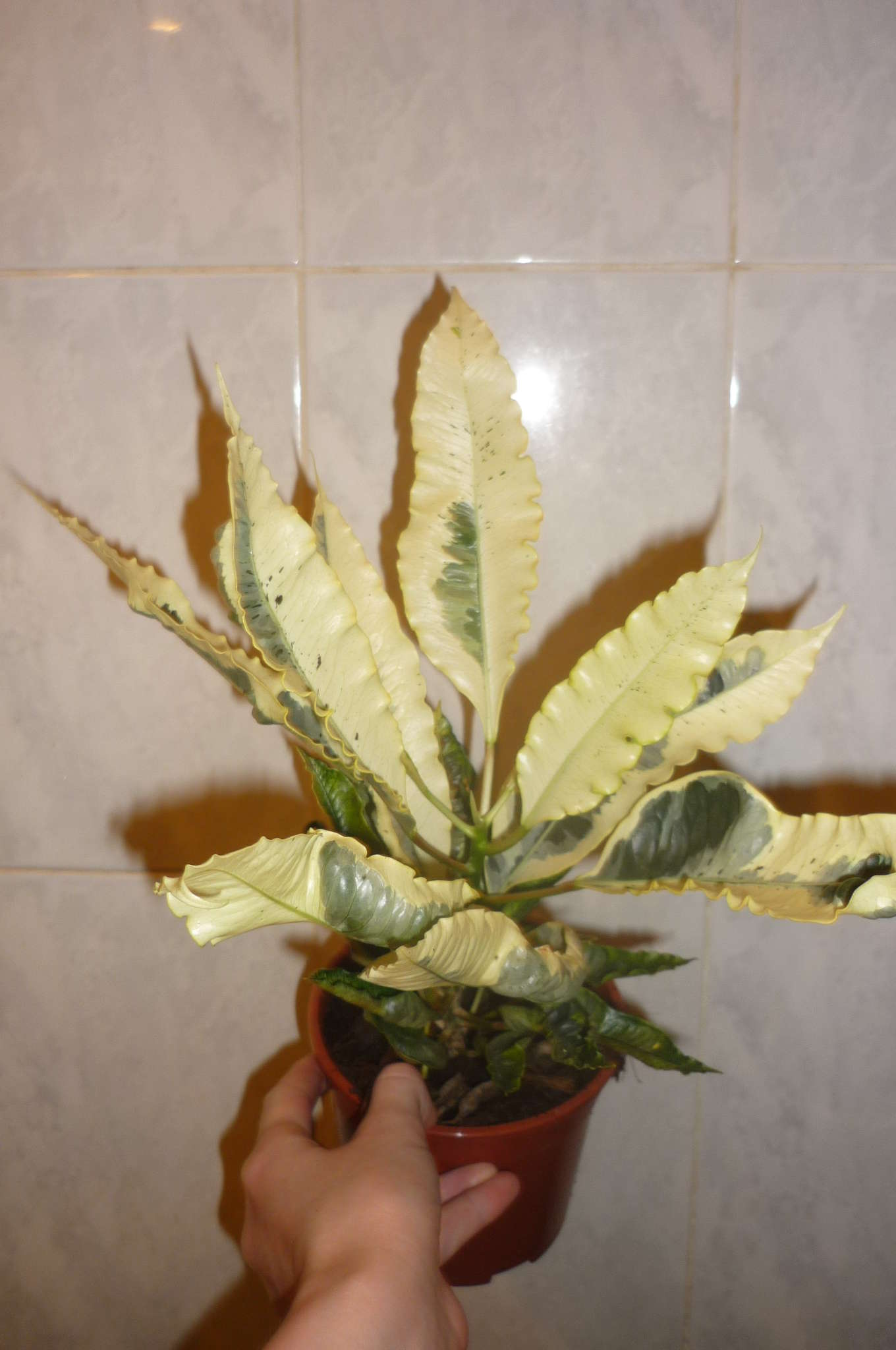 Комнатные цветы фото пеперомия 8