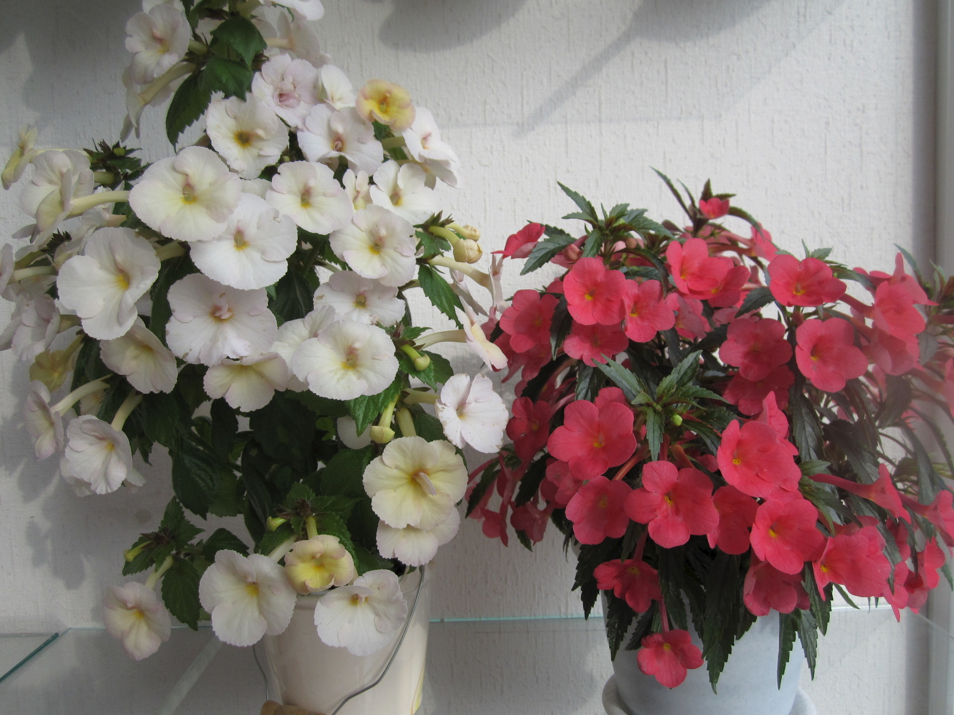 Комнатный цветок ахименес фото и уход