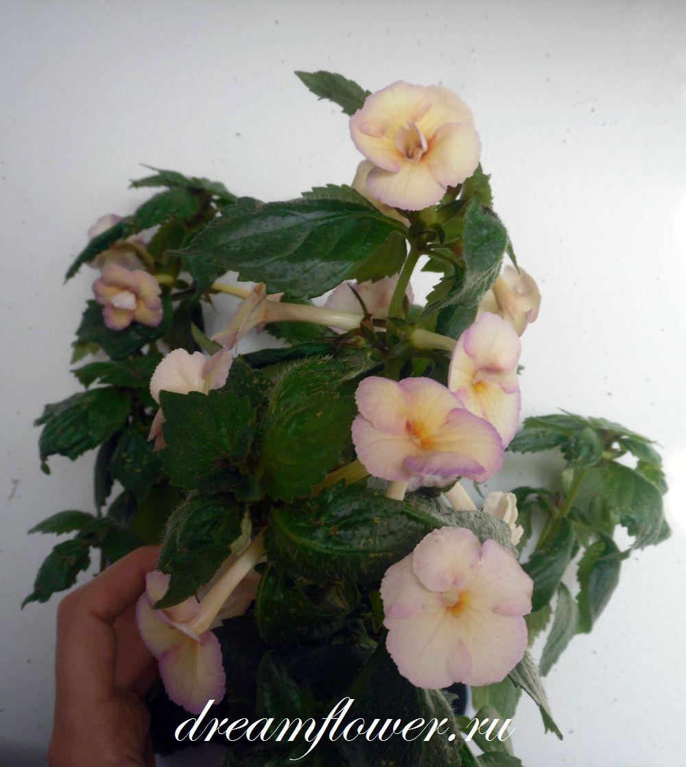 Фото цветы комнатные для тельца на