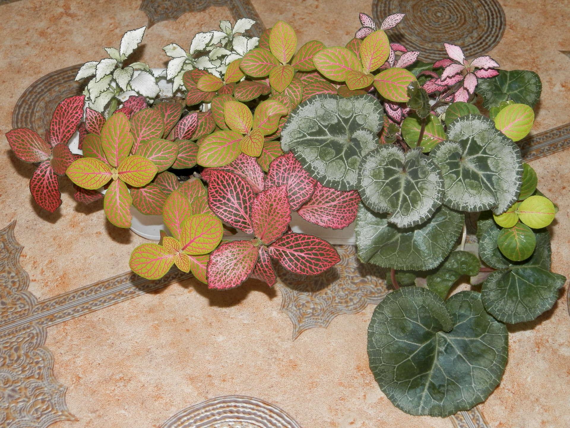 Фиттония уход в домашних условиях фото она цветет