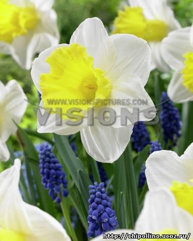 Narcis Holland Sensation.  Нарцисс Холанд Сенсейшн.