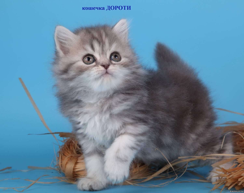 котята серые пушистые фото