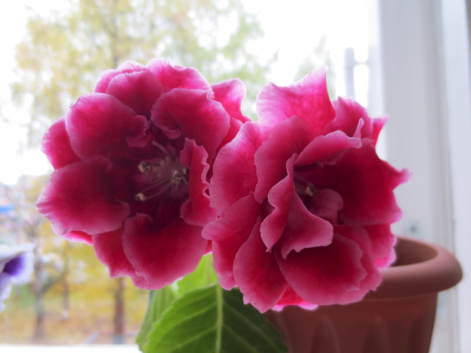 Глоксинии фото цветов с названиями