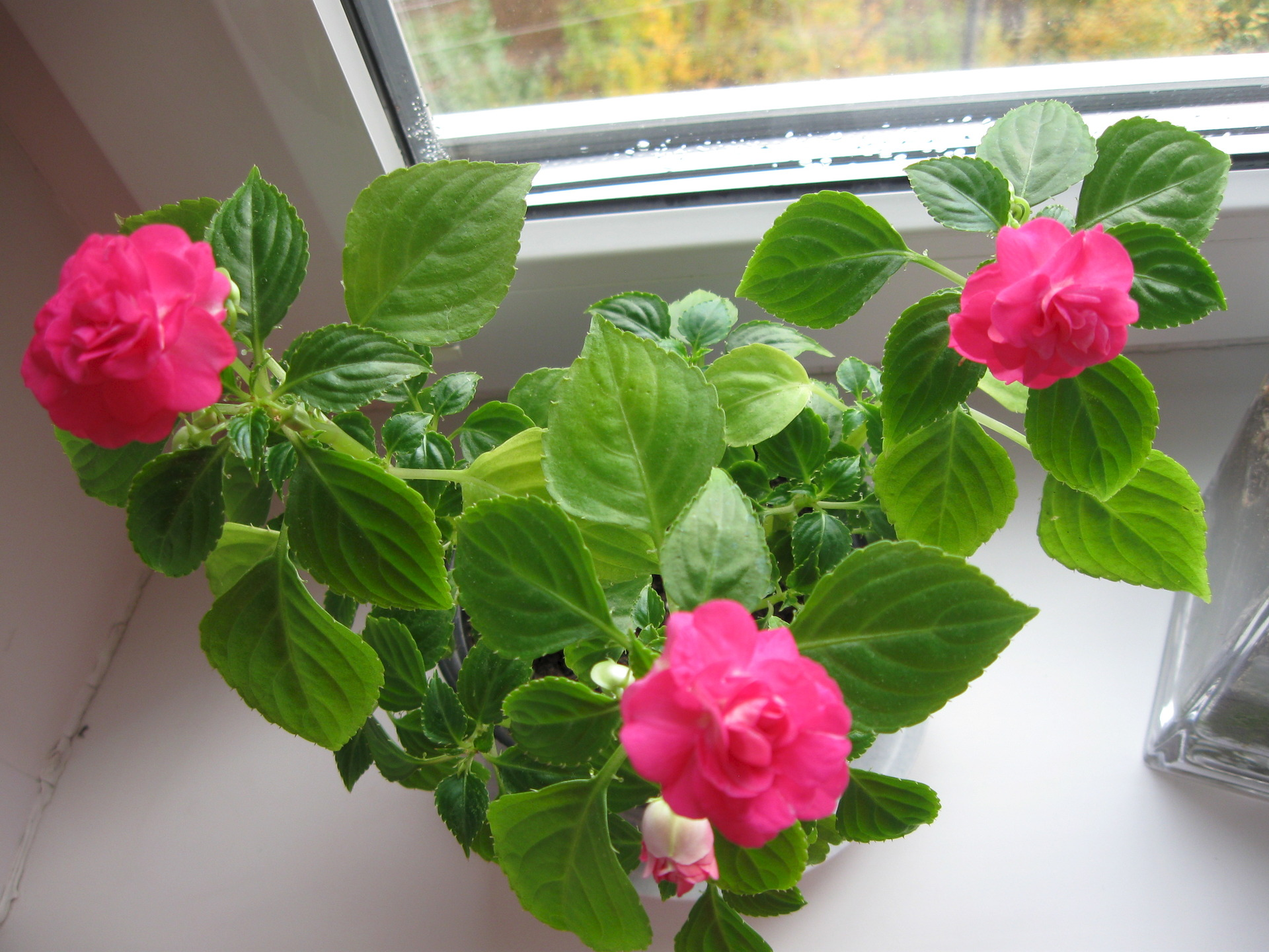 Цветок ванька мокрый - уход в домашних условиях, правильный 30