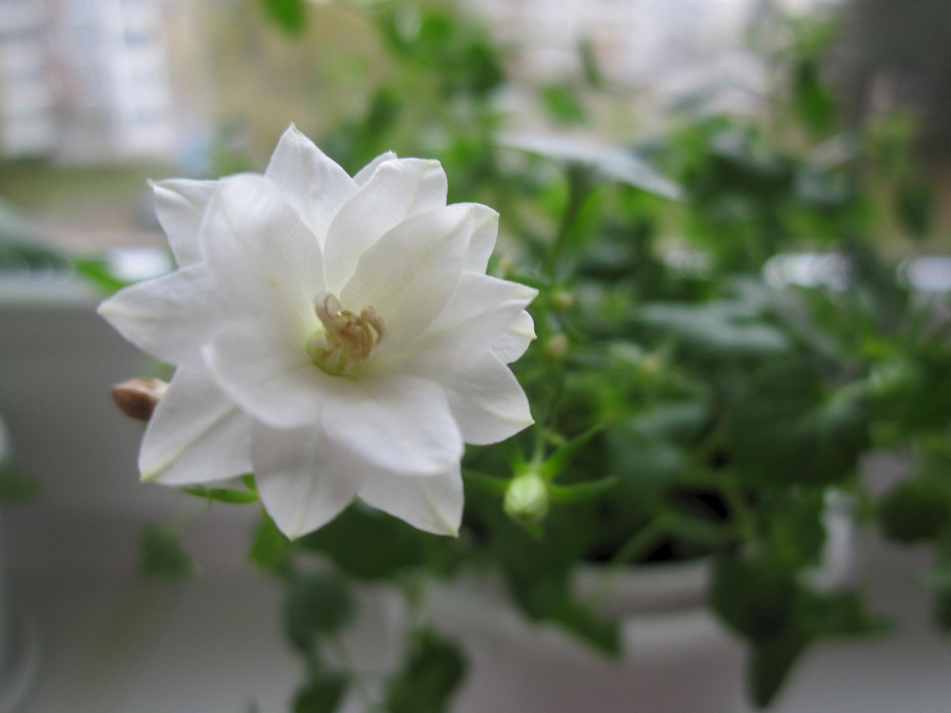 Цветок невеста уличная фото